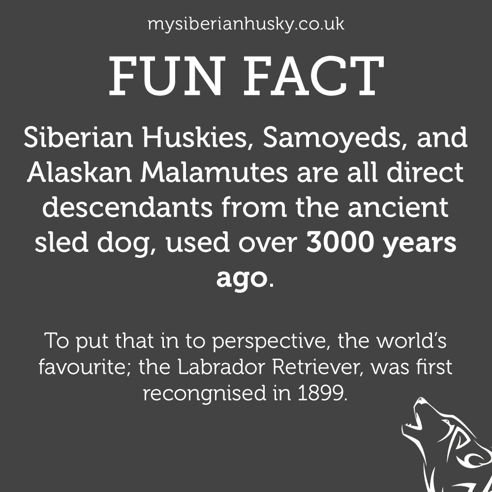 Siberian Huskies, Samoyeds, and Alaskan Malamutes are all direct descendants from the ancient sled dog, used over 3000 years ago.  To put that in to perspective, the world's favourite; the Labrador Retriever, was first recongnised in 1899.