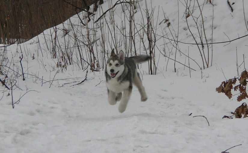 Why can't Siberian Huskies go off-lead? An impartial view.