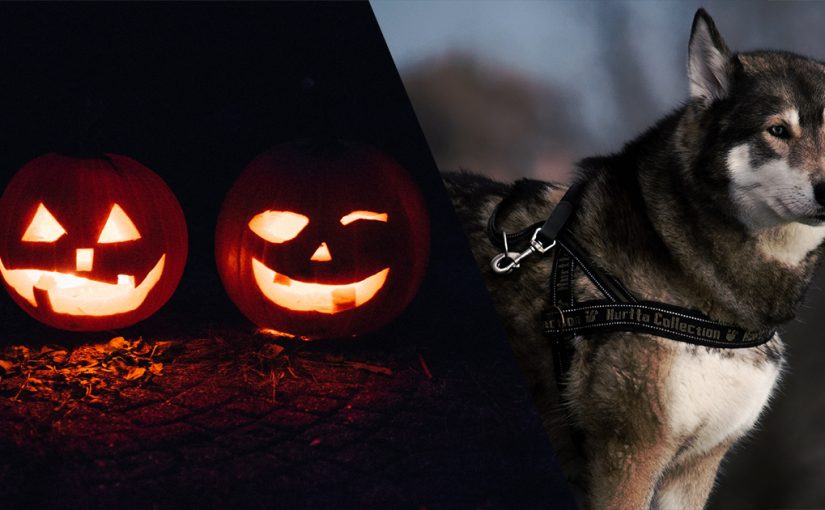 Ultimate Husky Halloween Gifts